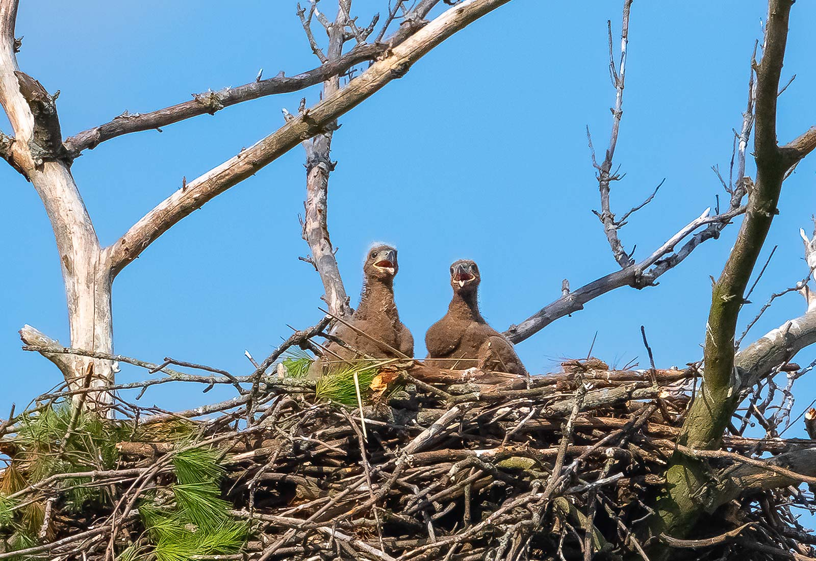 Two eaglets in the nest