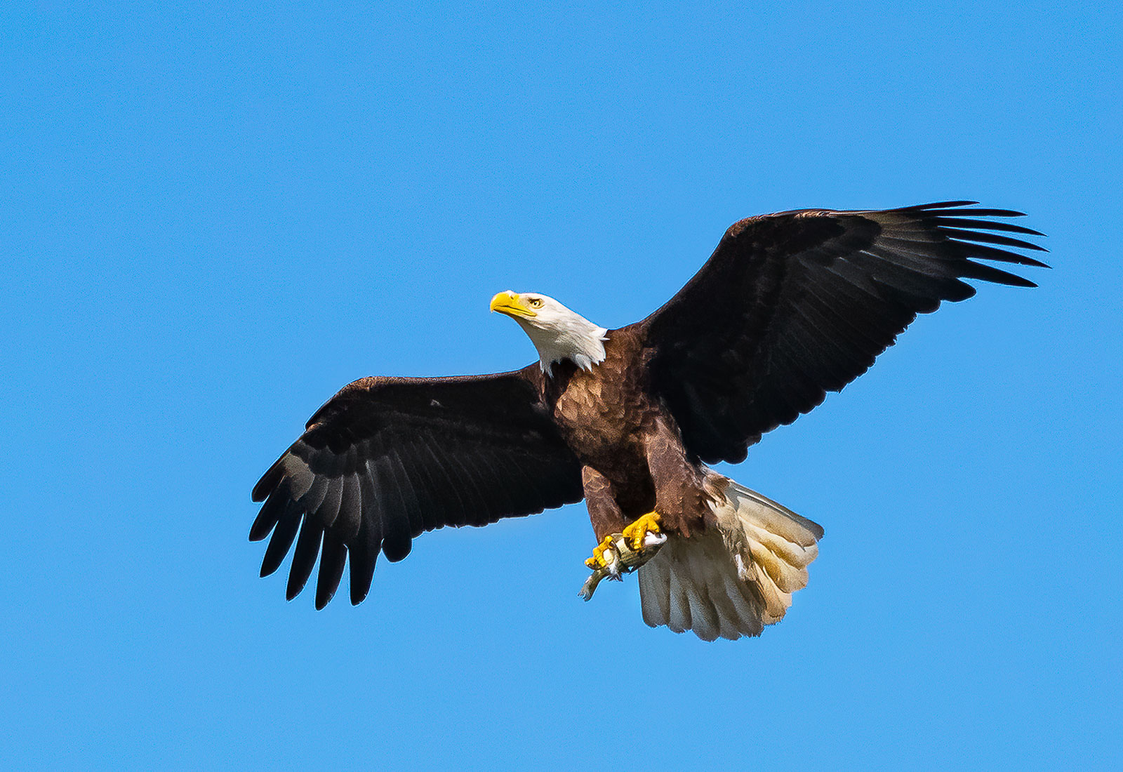 Eagle delivers fish for eaglets in the nest
