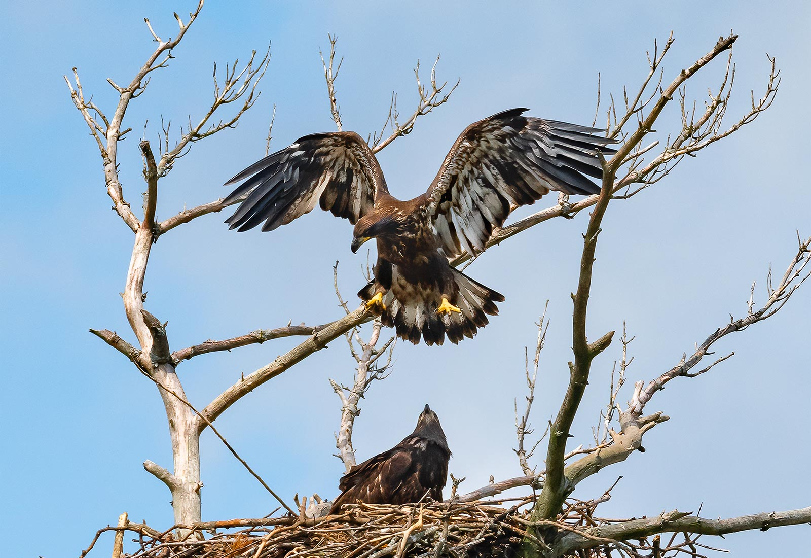 Eaglet catches air while preparing to fly