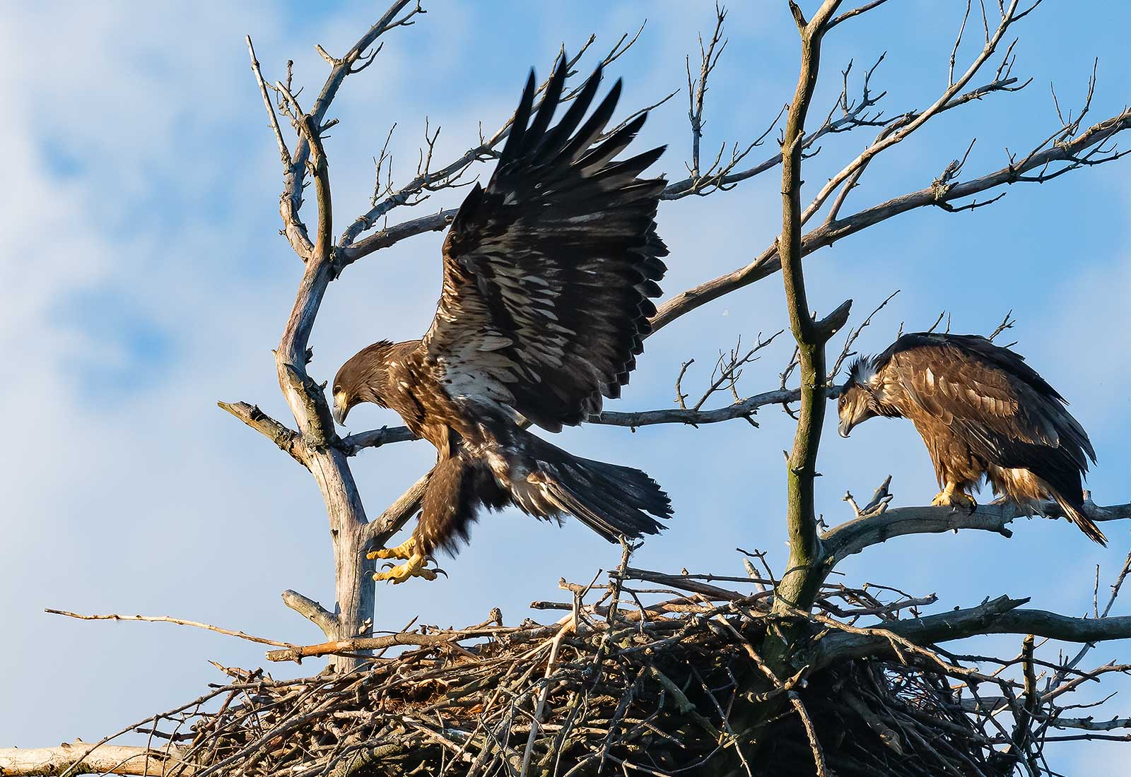 Eaglet siblings watch each other branching