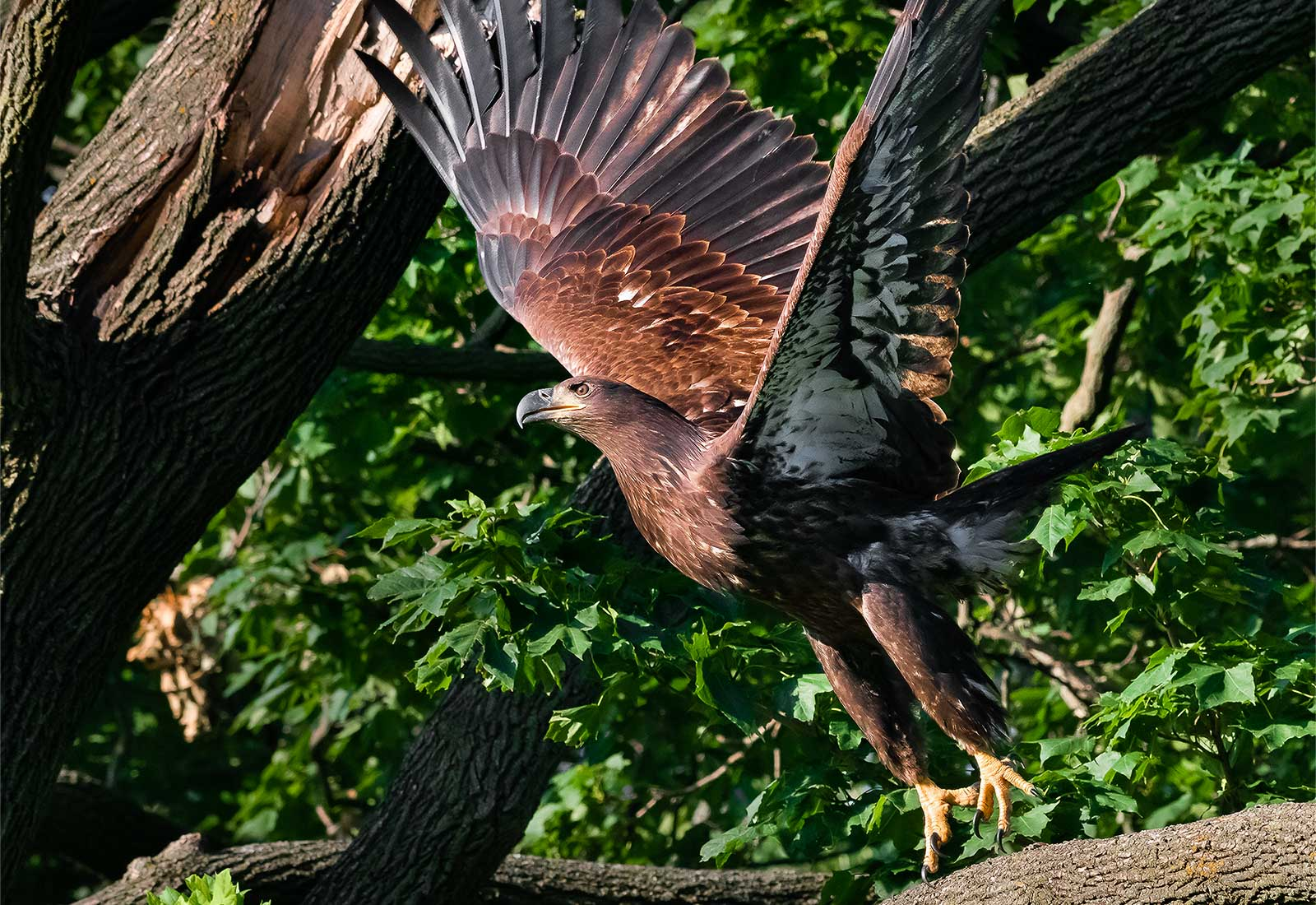 Juvenile Eagle (3-month) takes off from a branch