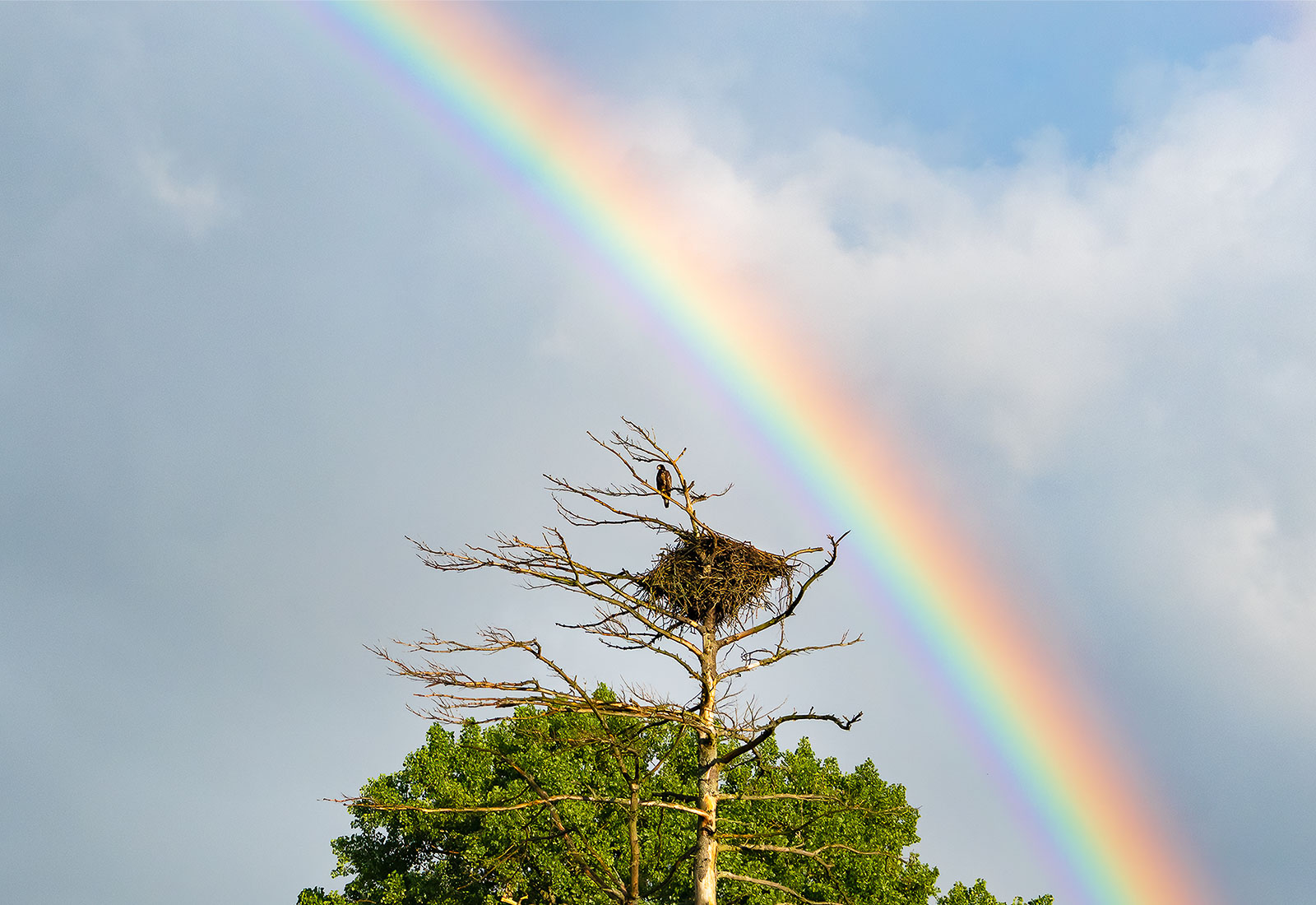 Juvenile Eagle perched by its birth nest and a rainbow