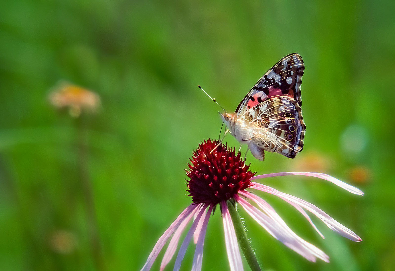 Painted Lady on a Coneflower Lawrence County MO