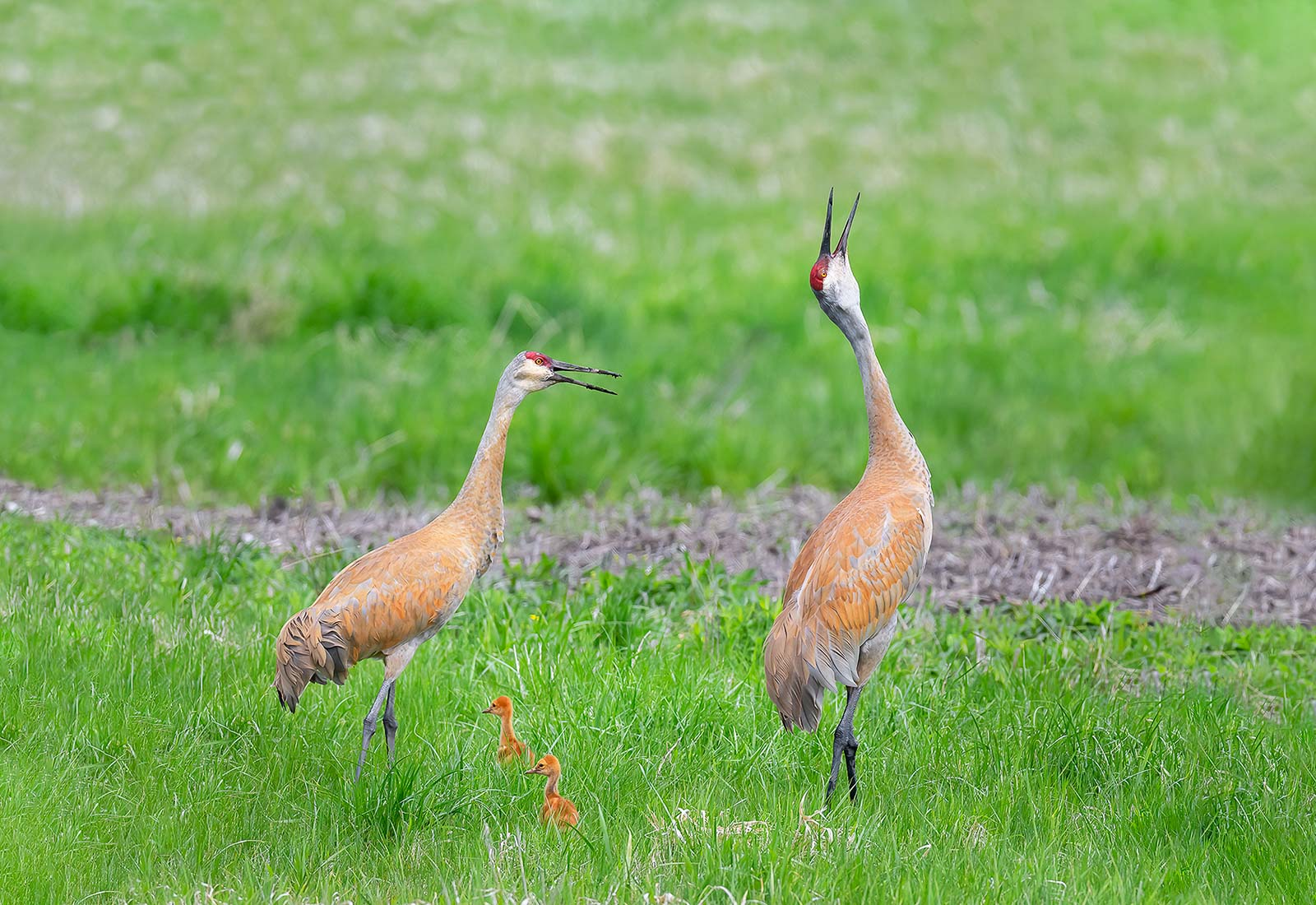 Sandhill Cranes let out their rattlin' bugle call, Kane County, MO