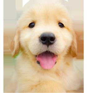 Golden Retriever puppy Ginger of Trog's Dogs