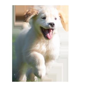 Golden Retriever puppy Paczki of Trog's Dogs