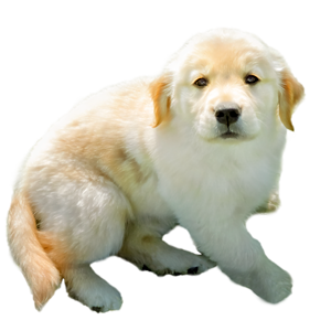 Golden Retriever puppy Shadow of Trog's Dogs