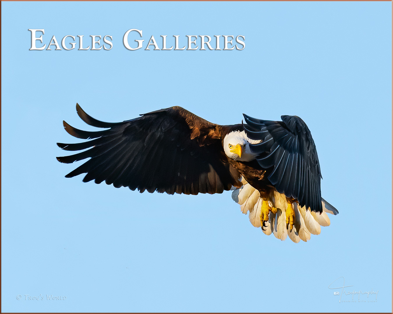 Bald Eagle in flight giving the stare