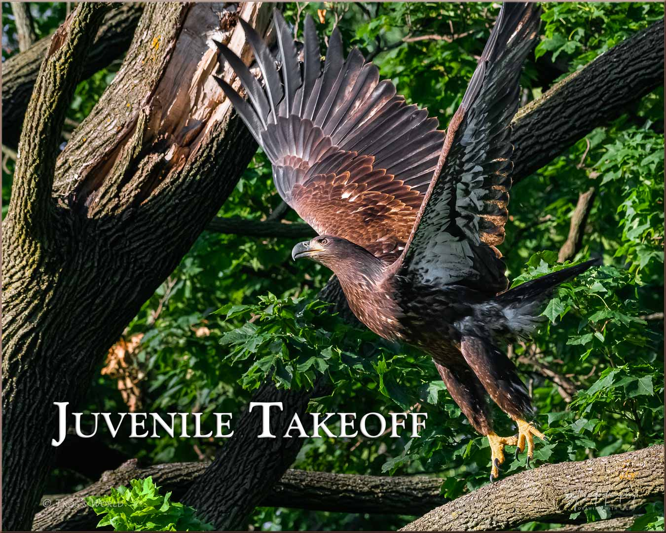 Juvenile Eagle taking off from a branch