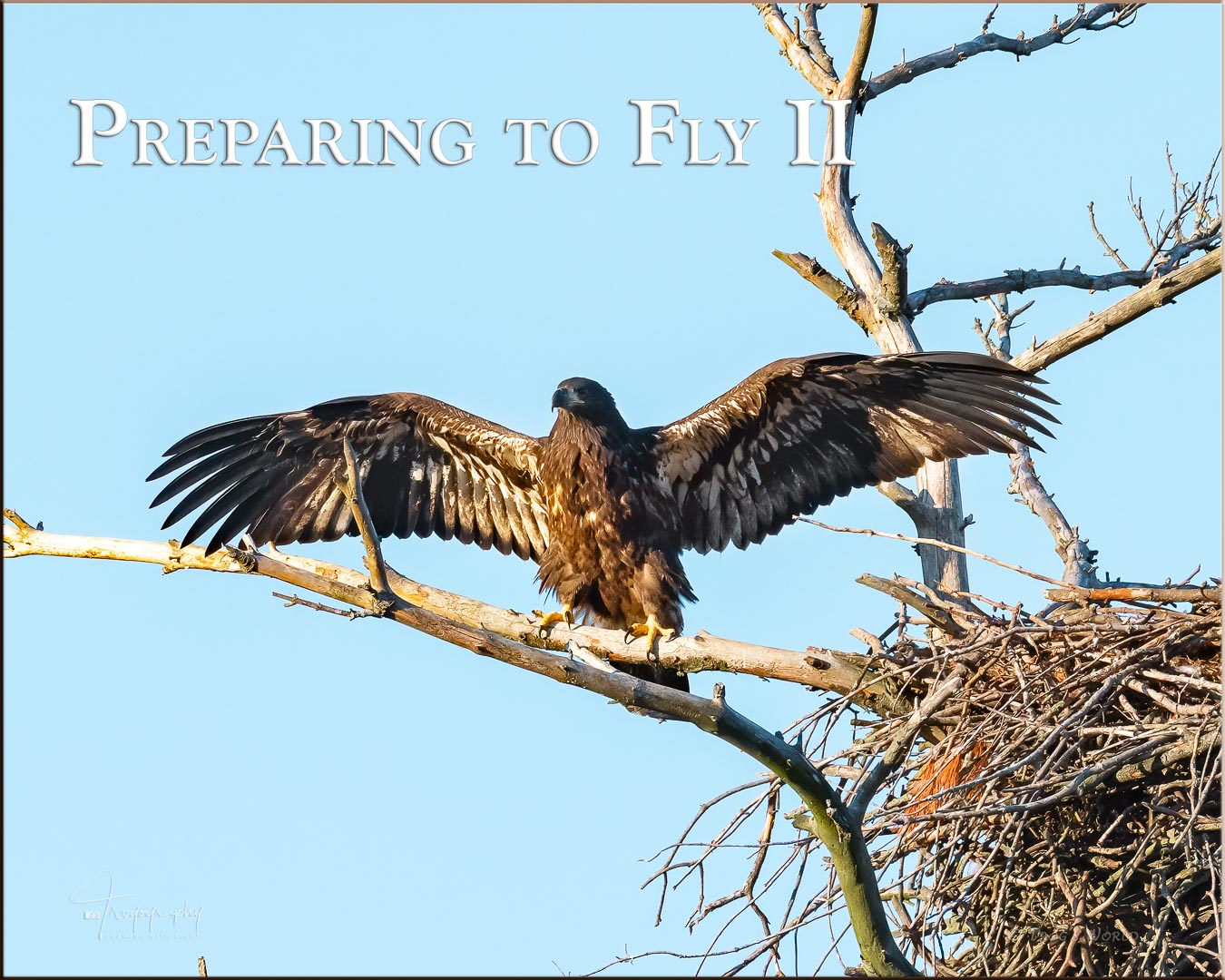 Eagle branching and preparing to fly