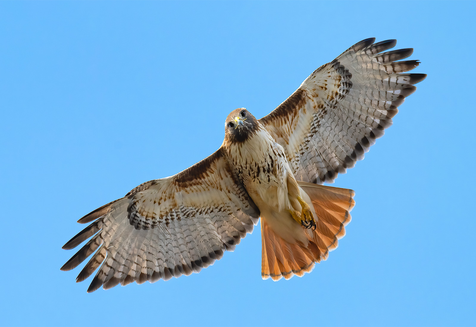 Red-tailed hawk looking down while in flight