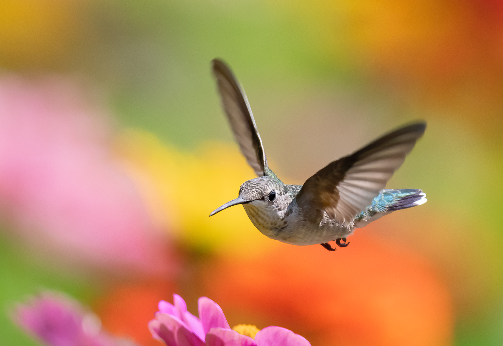 Ruby-throated Hummingbird hovering over flowers