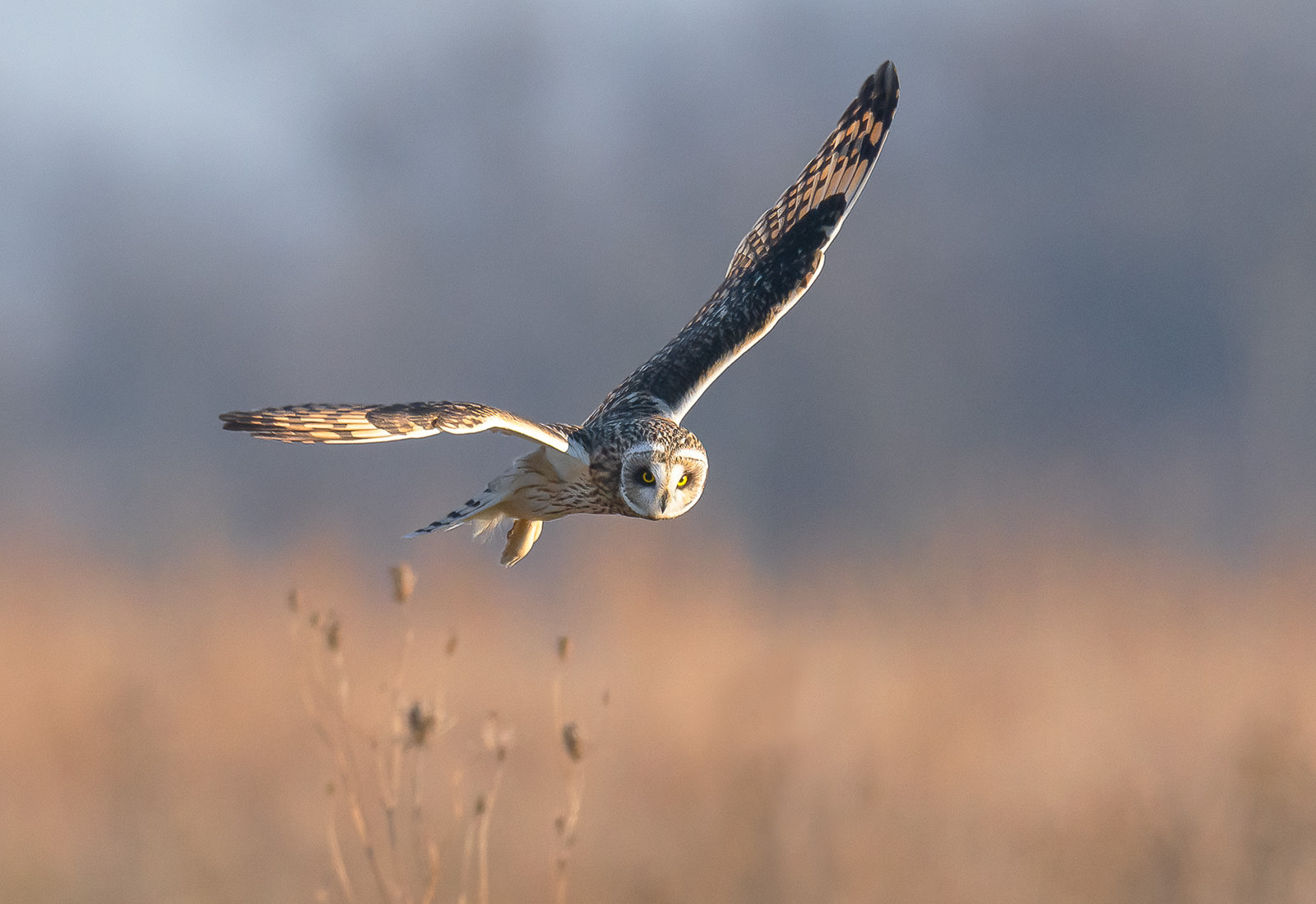 Short-eared Owl on the hunt for voles