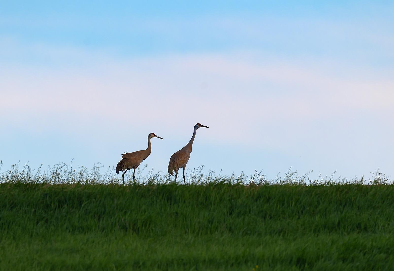 Sandhill Cranes on a hill