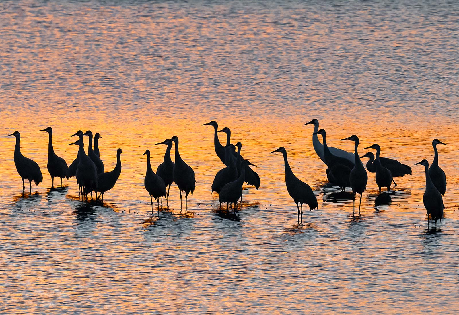 Sandhill Cranes and Whooping Crane