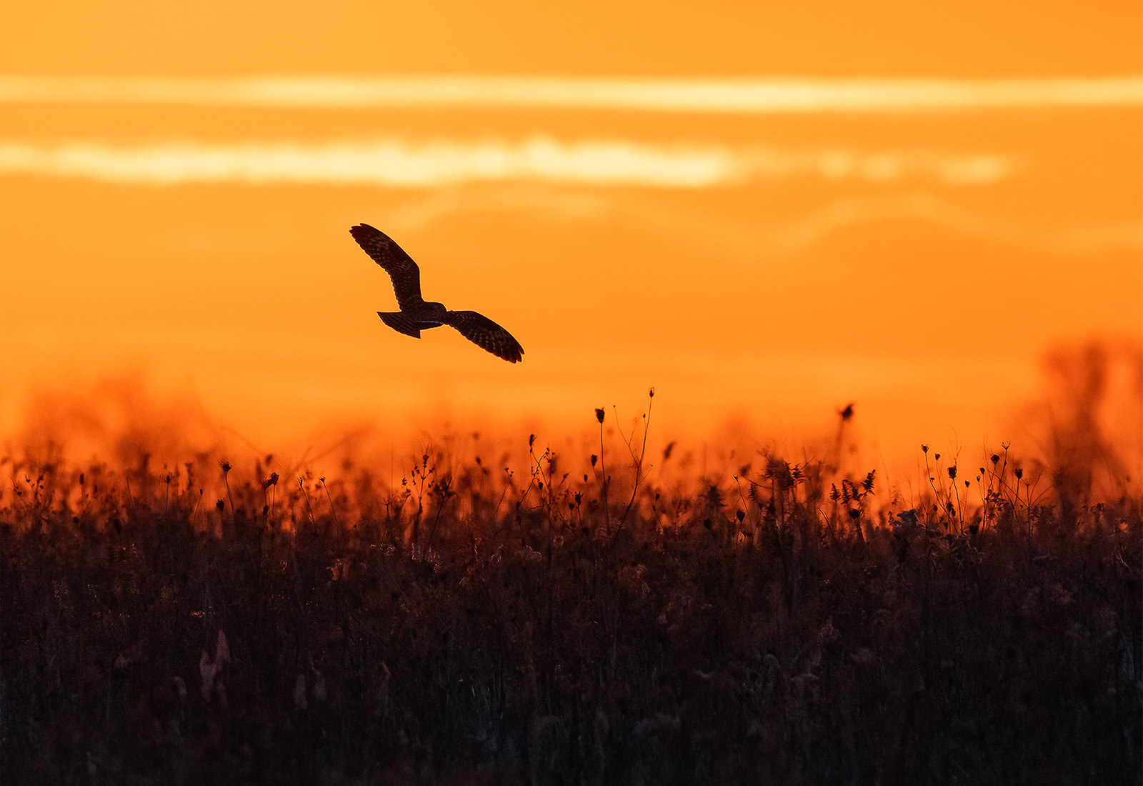Short-eared Owl on the hunt during sunset