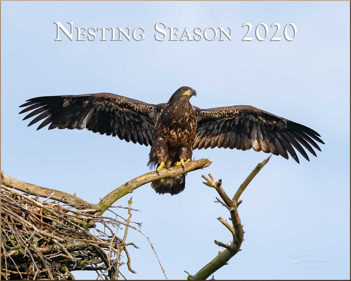 Juvenile Eagle spreading its wings on a branch