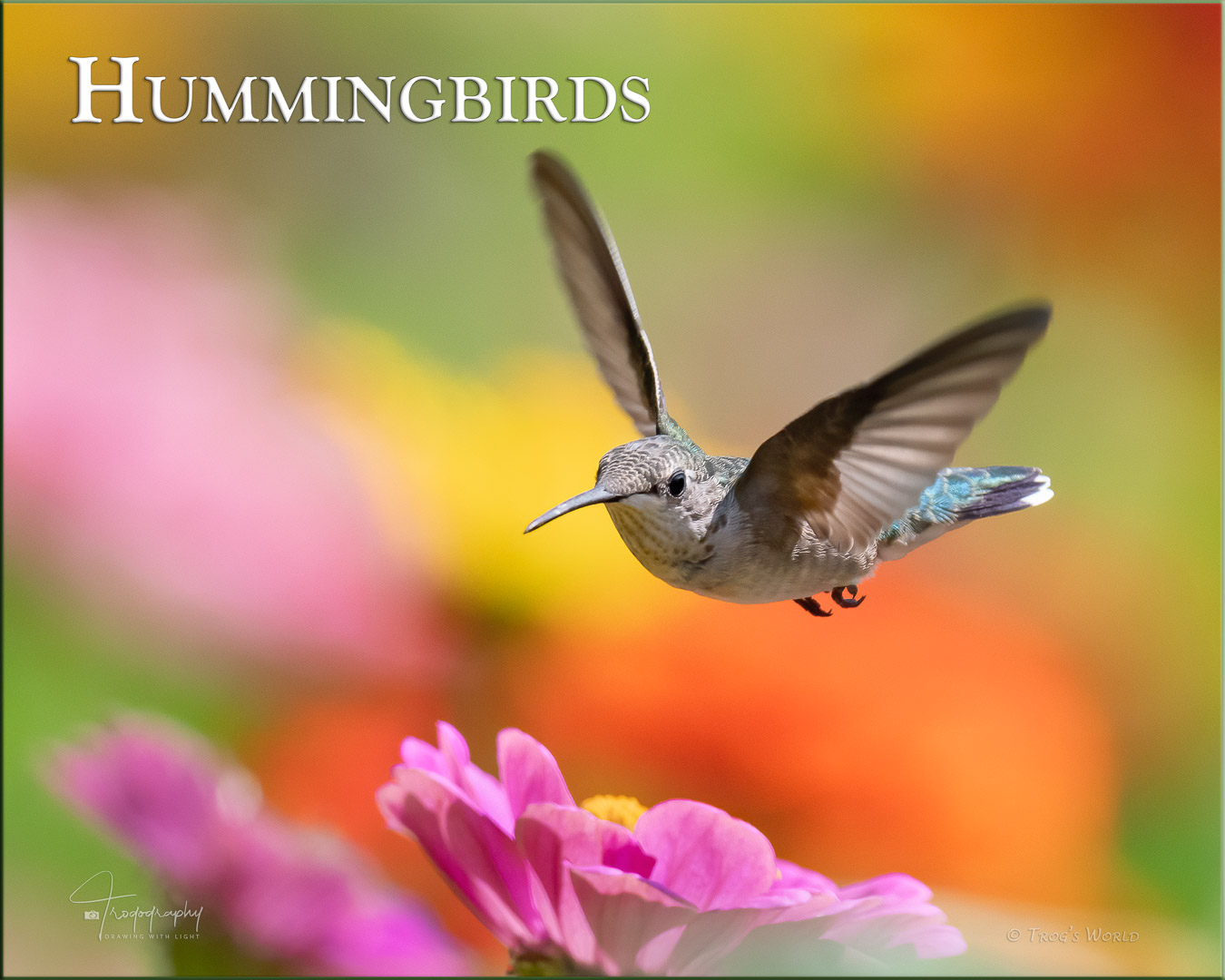 Ruby-throated Hummingbird hovers among the flowers
