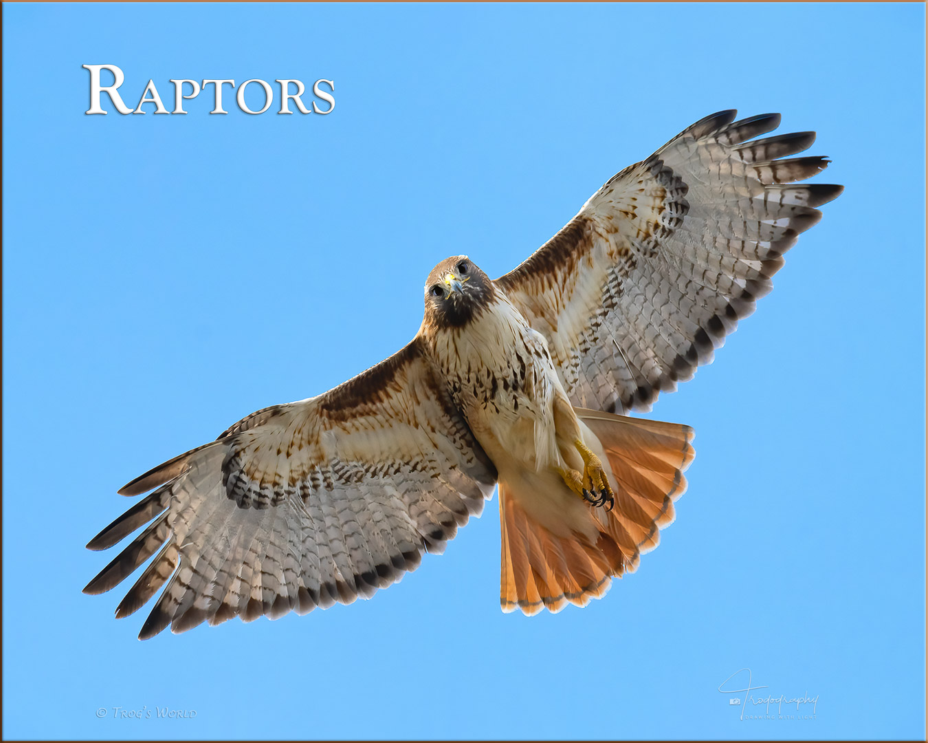 Red-tailed Hawk looks down while in flight