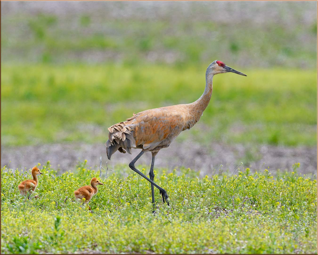 Sandhill Crane with its colts
