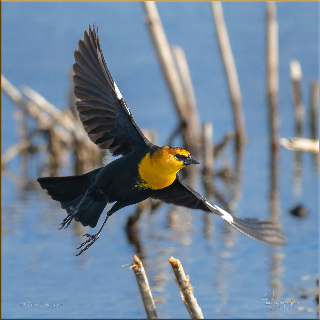 Yellow-headed Blackbird taking flight