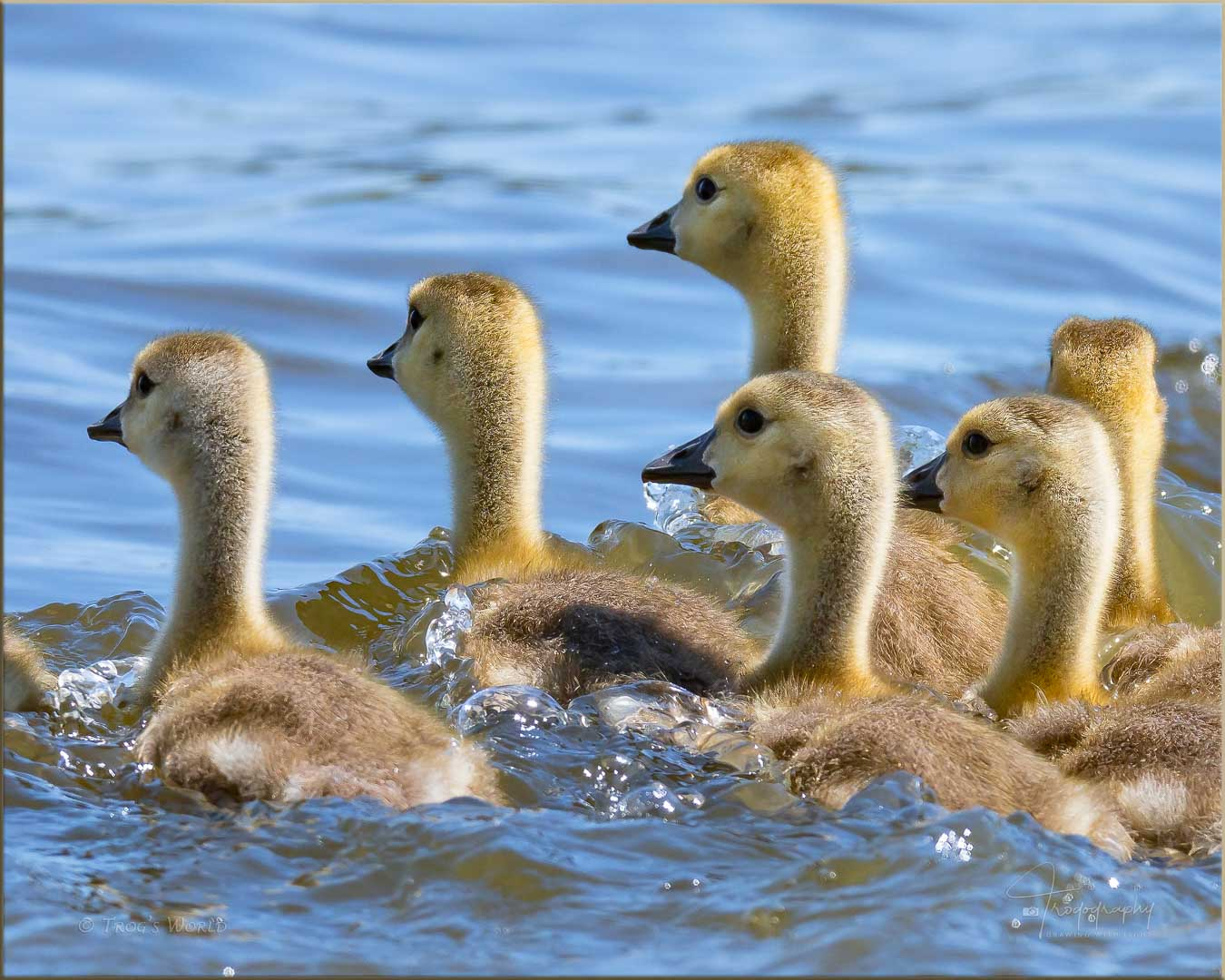 Goslings on the move in the pond