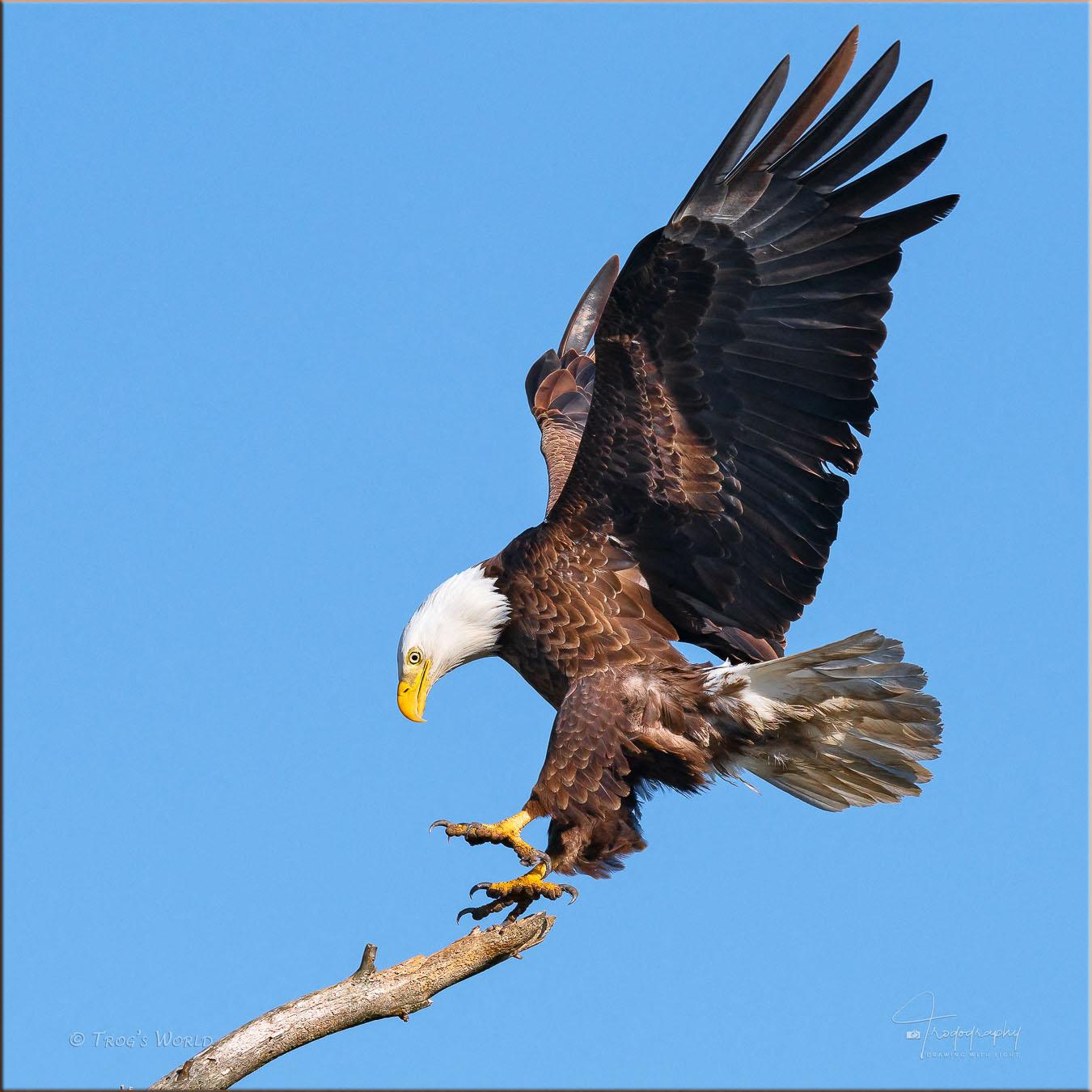 Bald Eagle sticking the landing