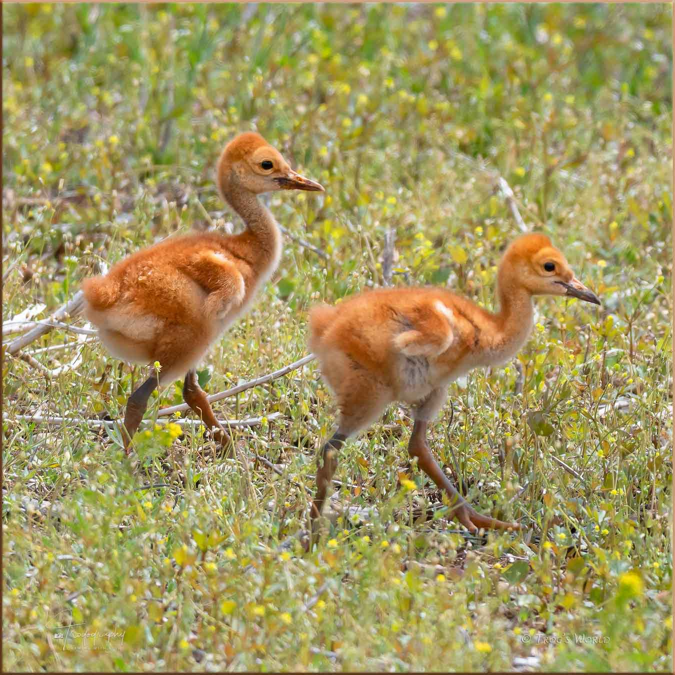 Sandhill Crane colts on the move