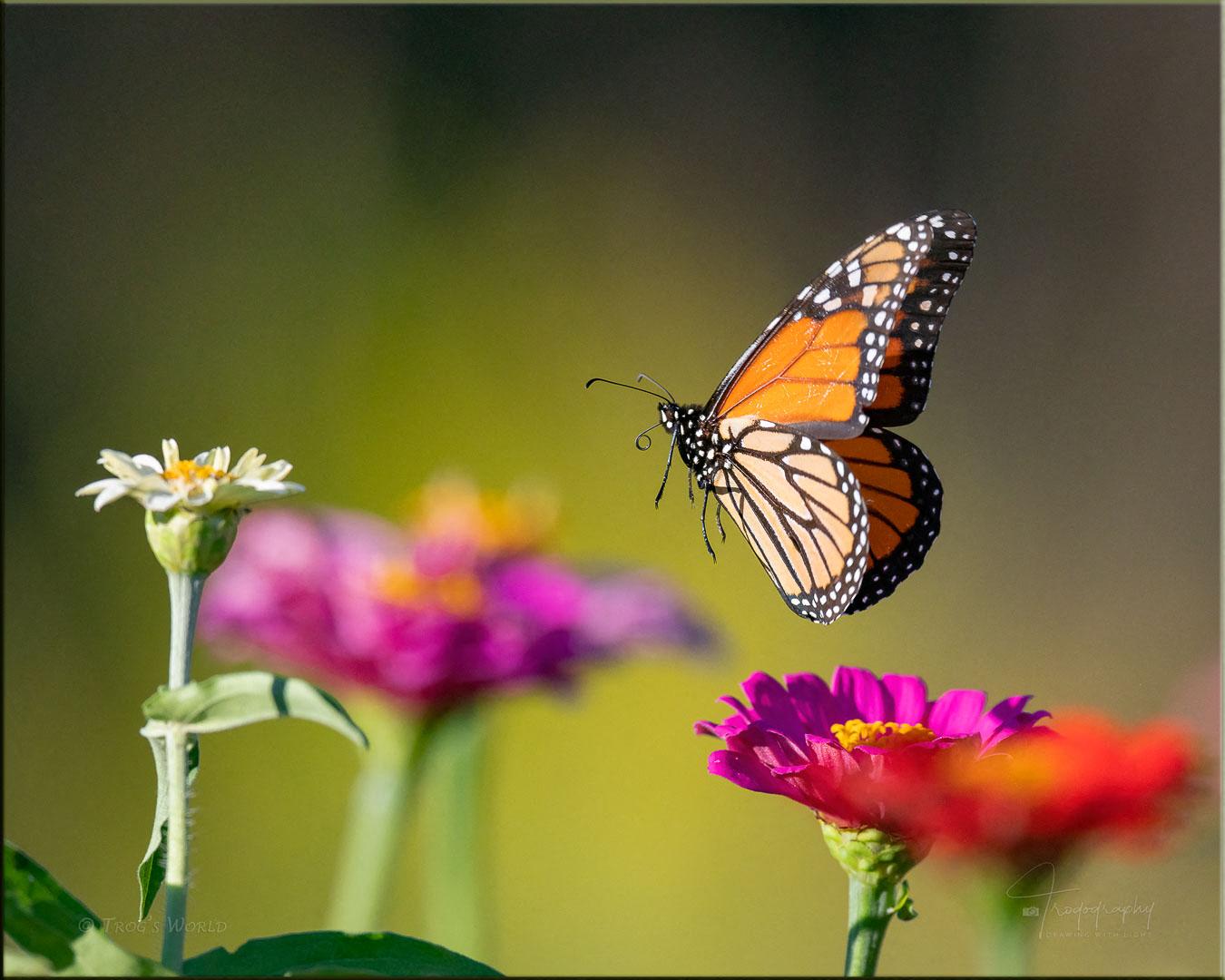 Monarch Butterfly in flight among the flowers