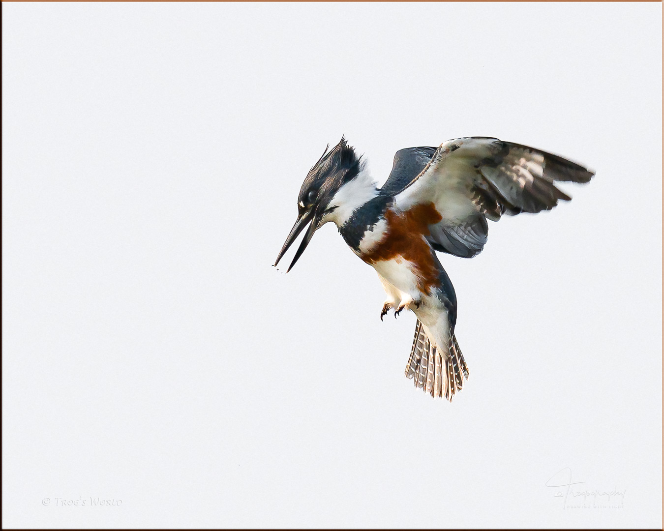Belted Kingfisher hovering over a river