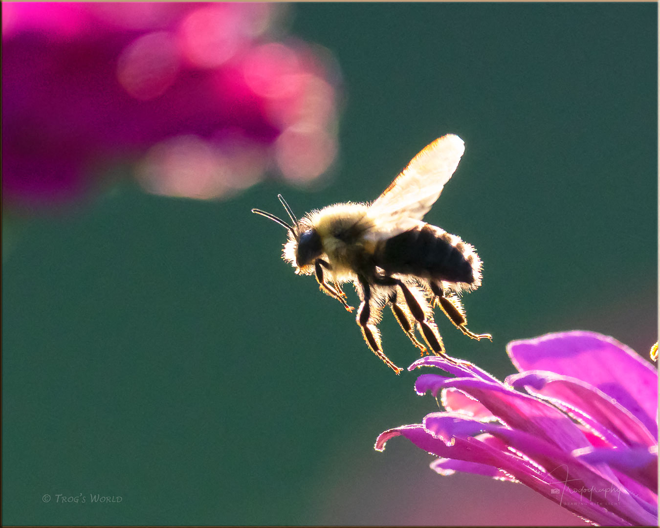 Bumblebee lit up by the evening sun