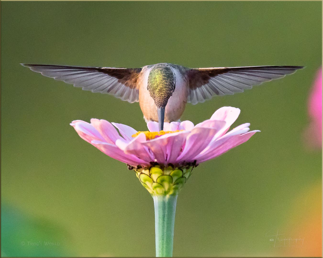 Ruby-throated Hummingbird poking at a flower
