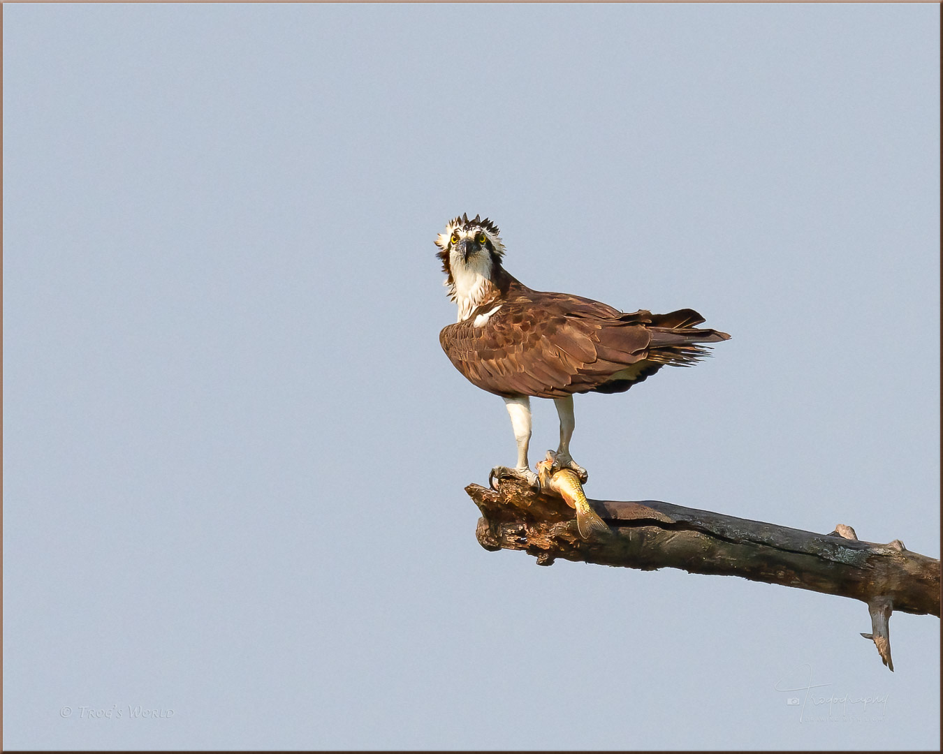 Osprey on a perch with a fish